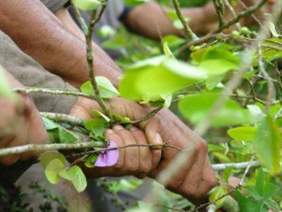 Erradicación cultivos de coca