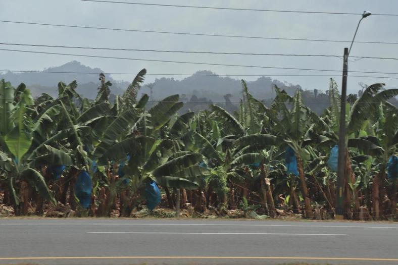 Plantaciones cultivo banano